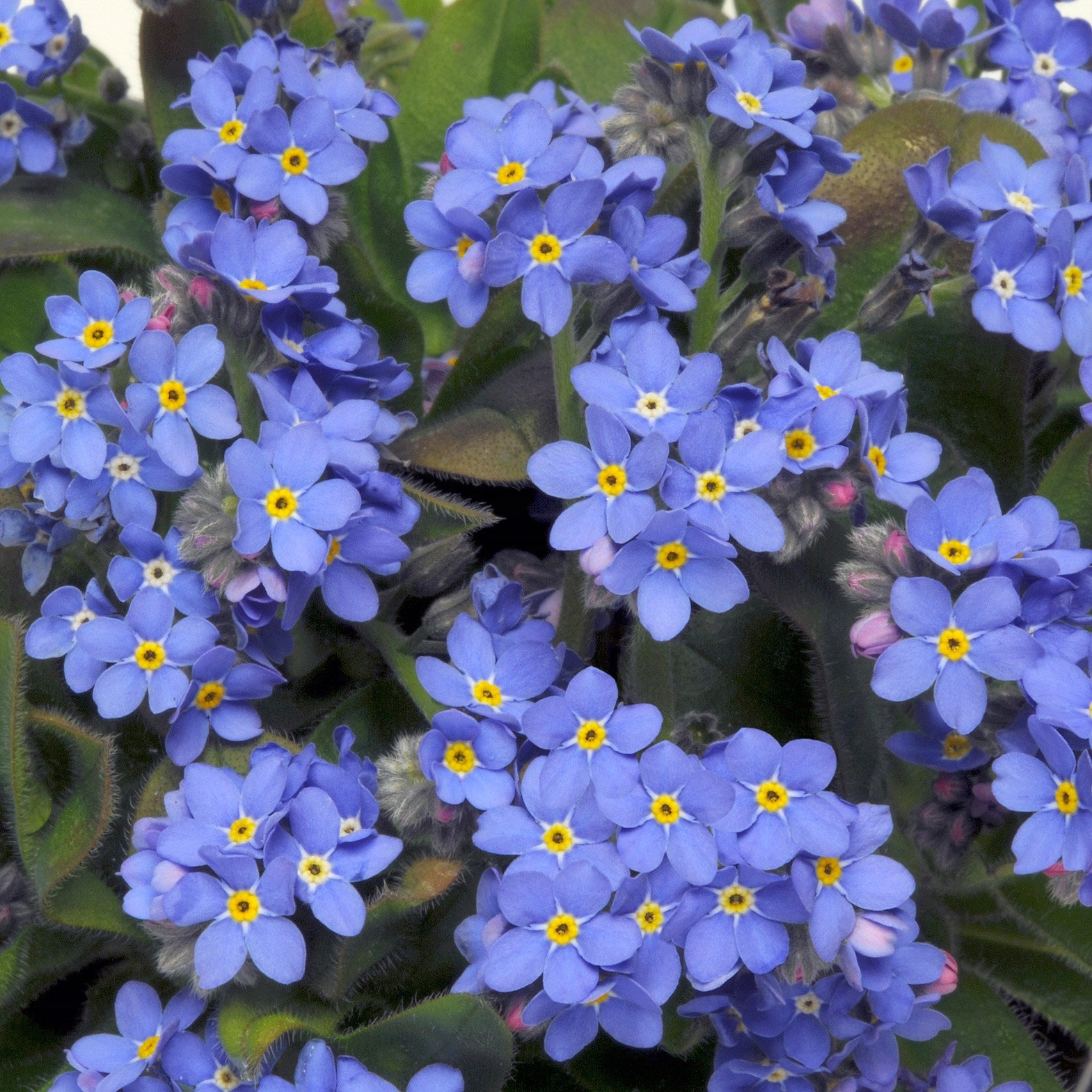Buy 40 plus 20 FREE large plug plants Forget Me Not Myosotis Sylvia     Forget Me Not  Sylvia Blue