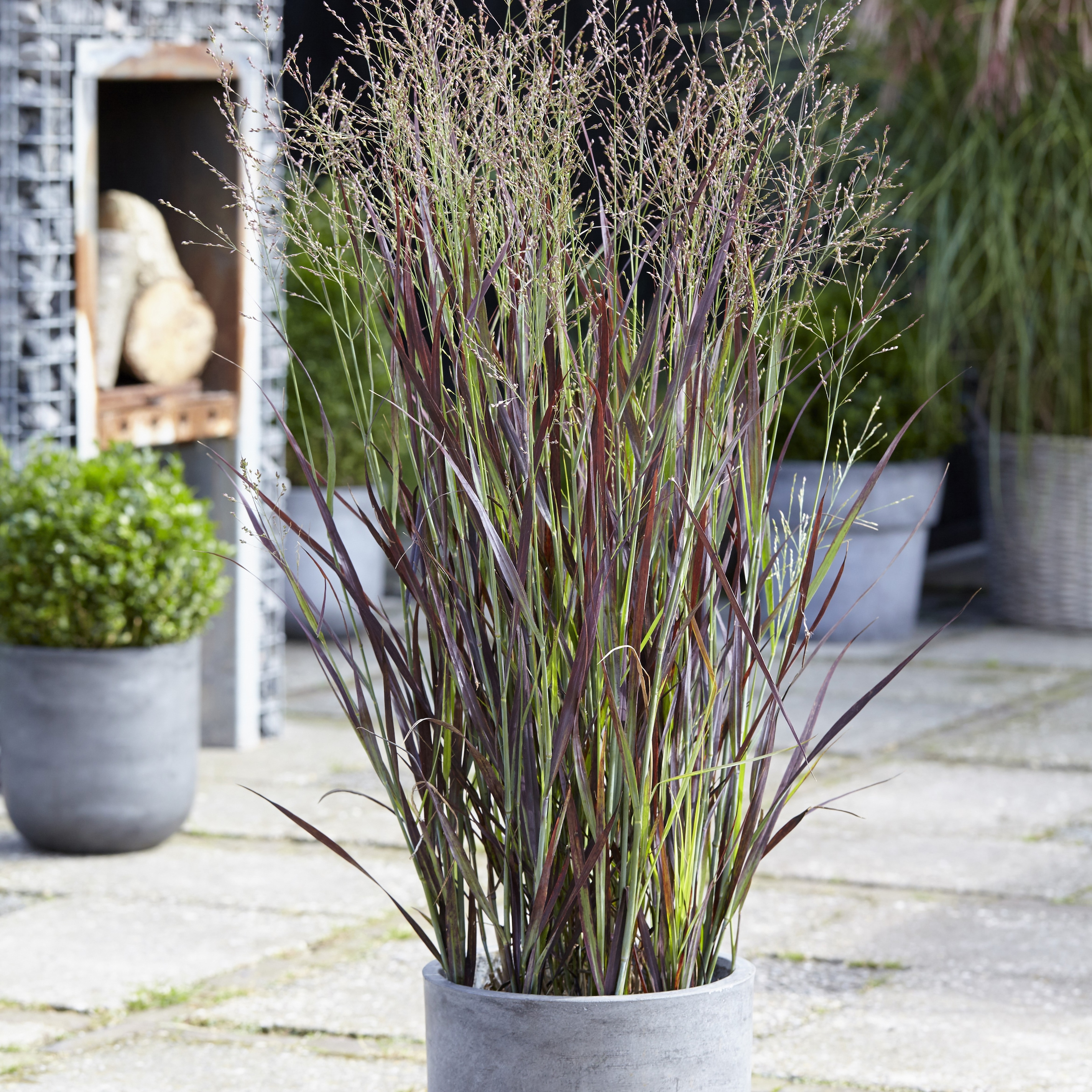 Buy Switch Grass Panicum Virgatum Purple Breeze Joz276 PBR 899 Delivery By Crocus