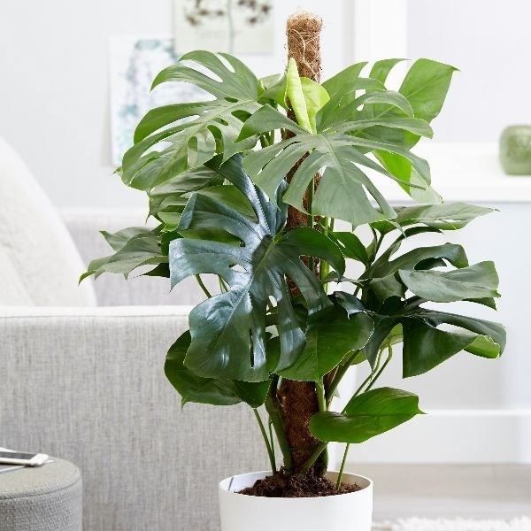 Buy Large 80cm Swiss Cheese Plant Syn Mostera Pertusum Monstera Deliciosa 34 99 Delivery By Crocus