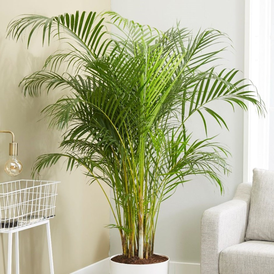 potted bamboo palm
