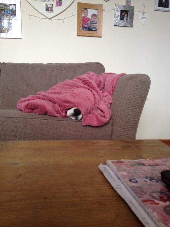 Dog does a sleep under a pink blanket Dogs in Blankets