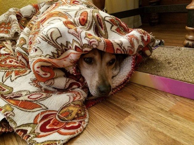 dog enveloped in comfort of blanket