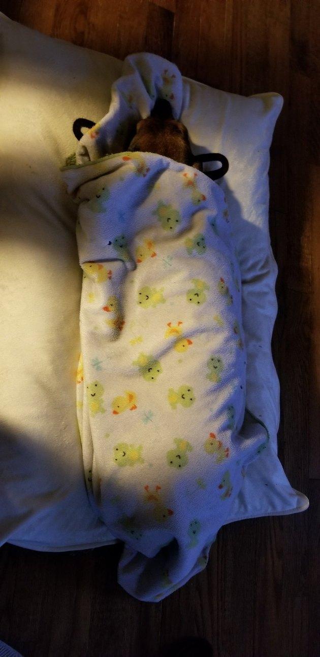 Dog sleeps under blanket