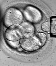 Cientistas criam um embrião metade humano e metade animal