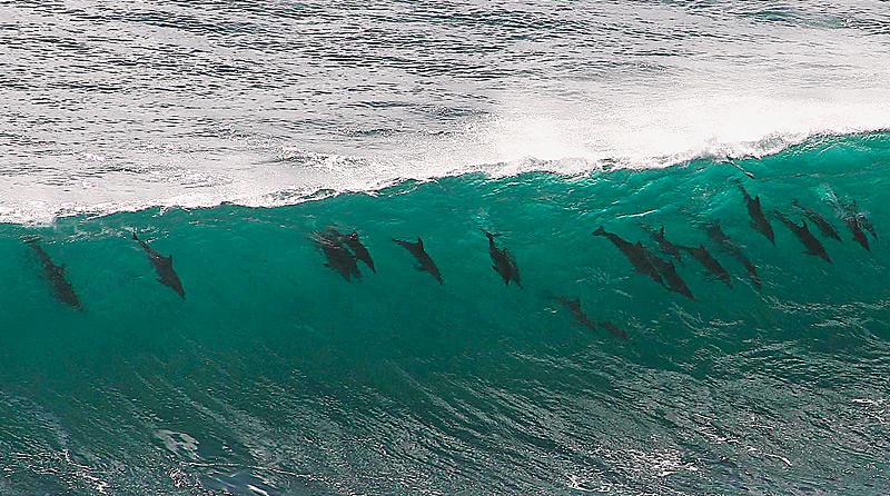 Delfines nariz de botella libres jugando con una ola