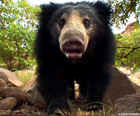 sloth bear jungle