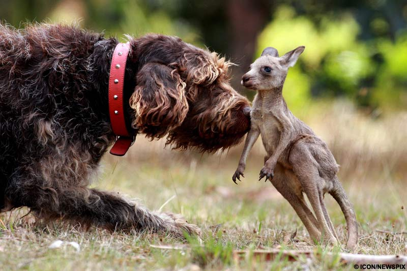 baby kangaroo and dog