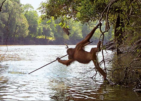 Ape fishing with spear
