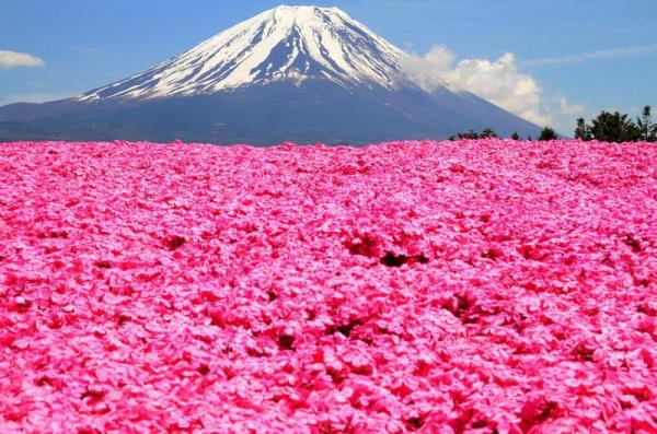 Флоксы у подножия Фудзиямы: розовый рай Японии - ФОТО