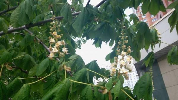 Каштановое дерево: Как начал цвести бело-розовый символ ...