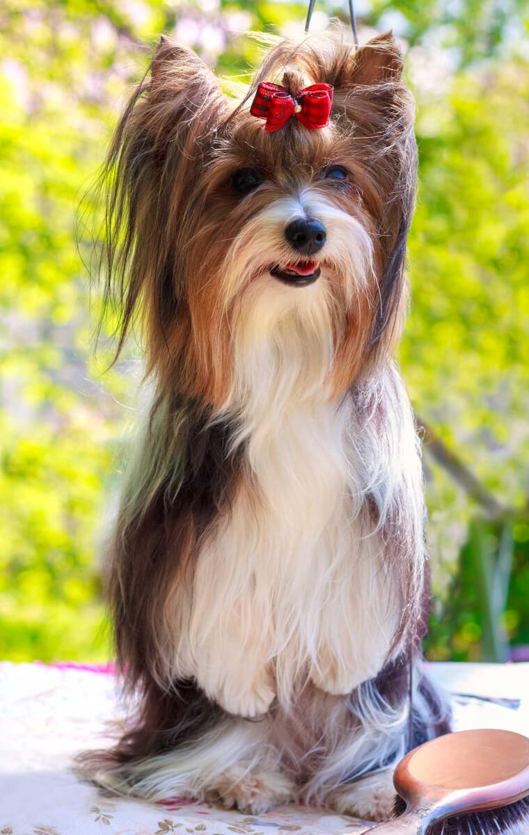 Biewer Terrier Dog Breed Everything About Biewer Terrier