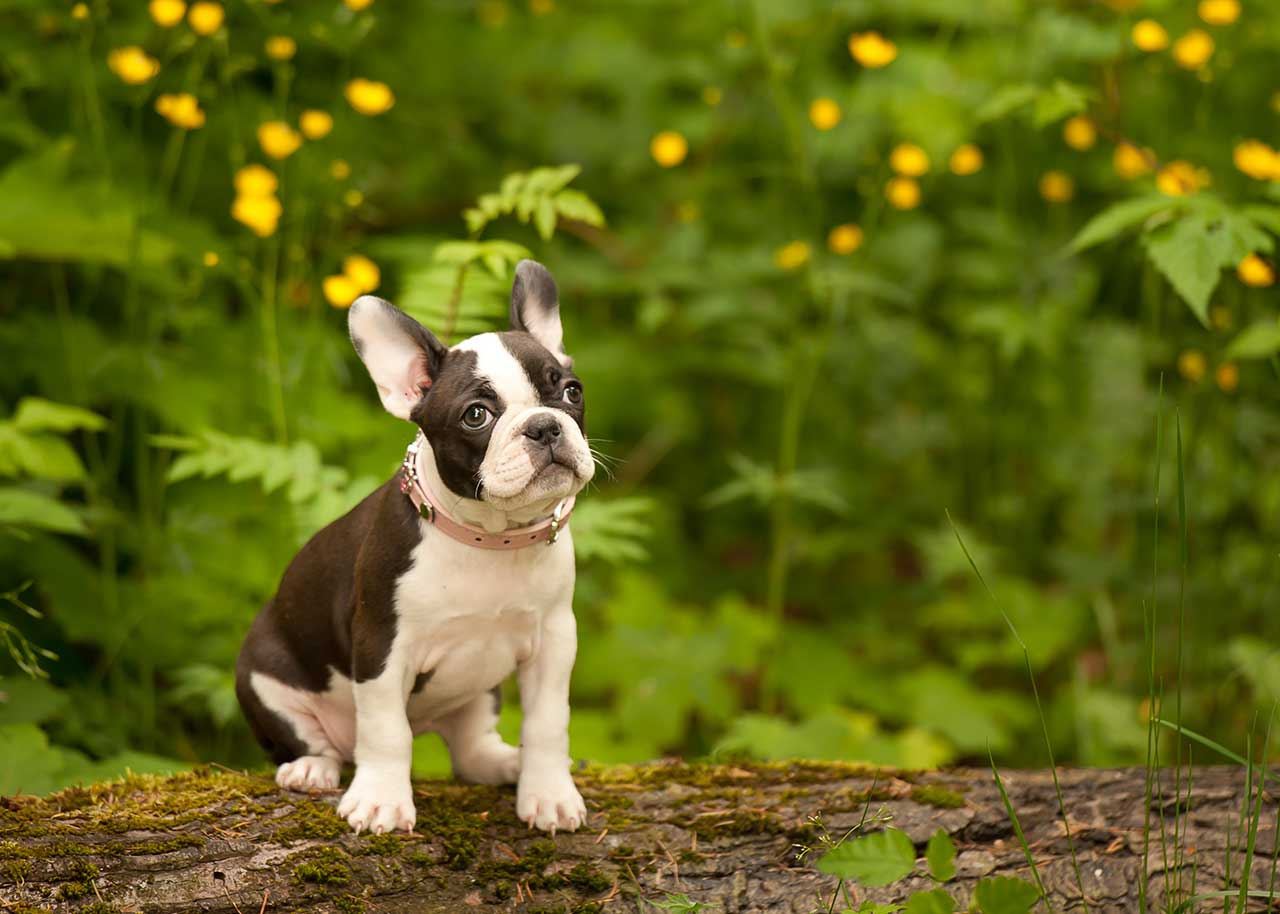 Faux Frenchbo Bulldog Dog Breed Everything About Faux