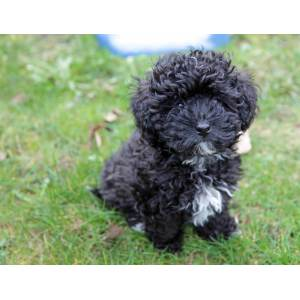 Breathtaking Miniature Poodle Miniature Poodle Puppies Sale