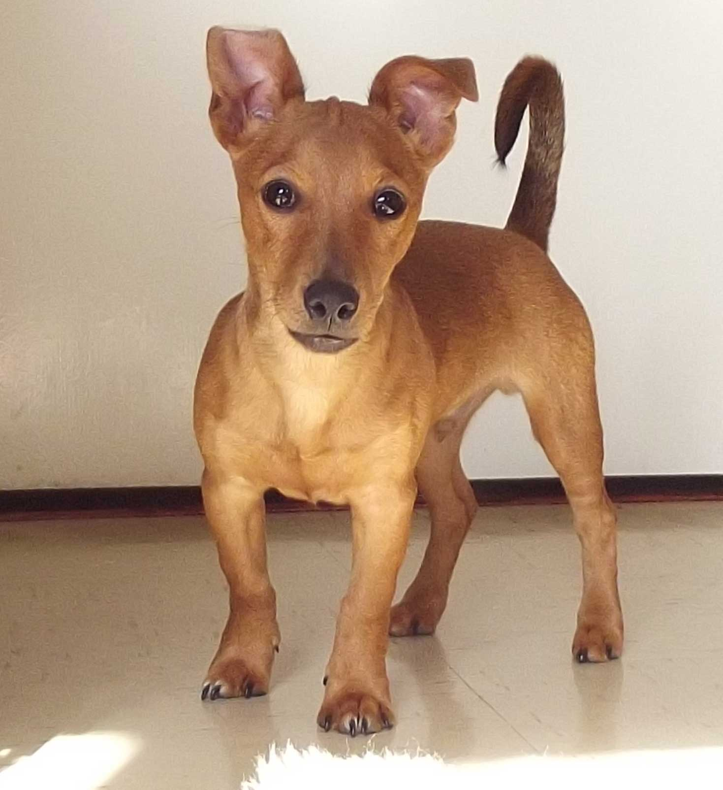 Jackshund Dog Breed Everything About Jack Russell
