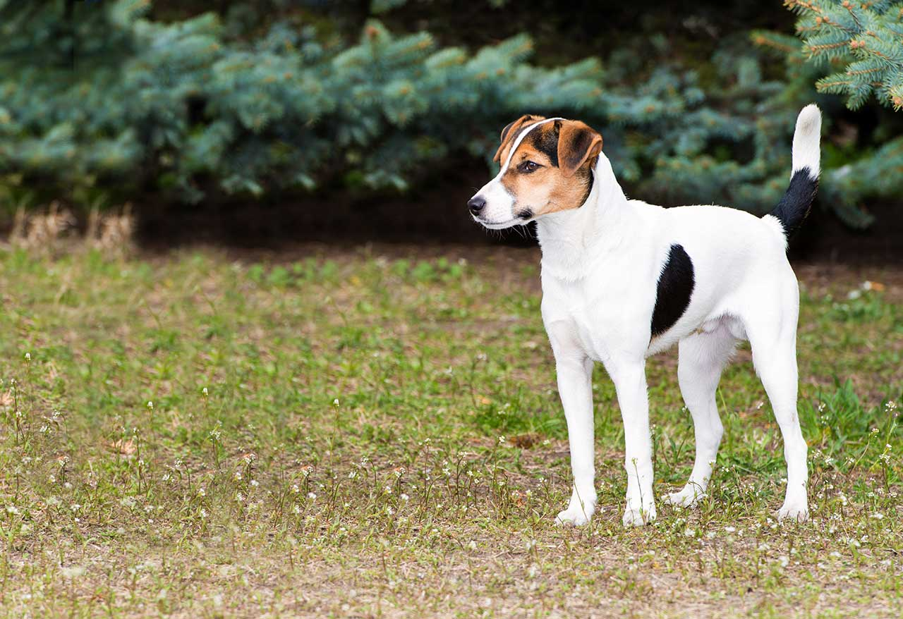 Smooth Fox Terrier Dog Breed Everything About Smooth Fox