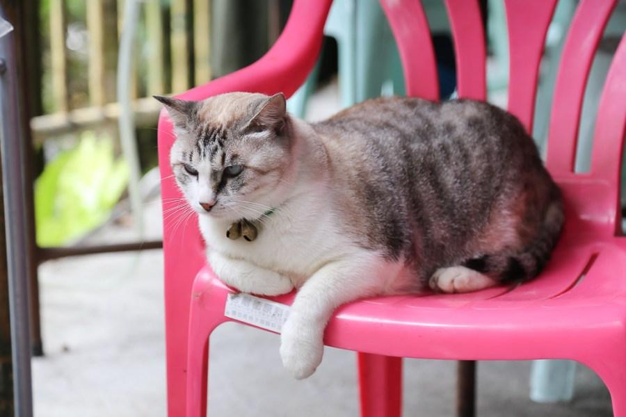 台南 圓滾滾毛茸茸不怕生的慵懶店貓「阿香」 台南市楠西區|阿香 文川梅子雞