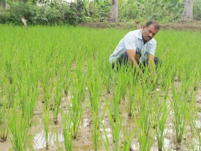 Jayasankar Agricultural University Design New High Yielding Crop Varieties