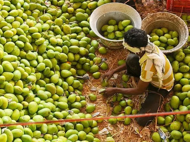 Andhra Pradesh Is The Highest Producer Of Mangoes In India