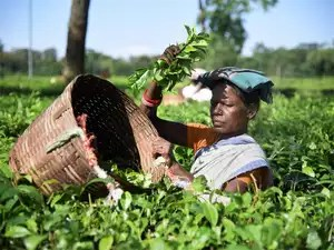 Assam tea producers see the ASEAN Free Trade Agreement as a major threat.