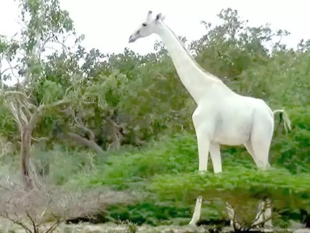 Kenya's only female white giraffe and her calf killed by poachers ...