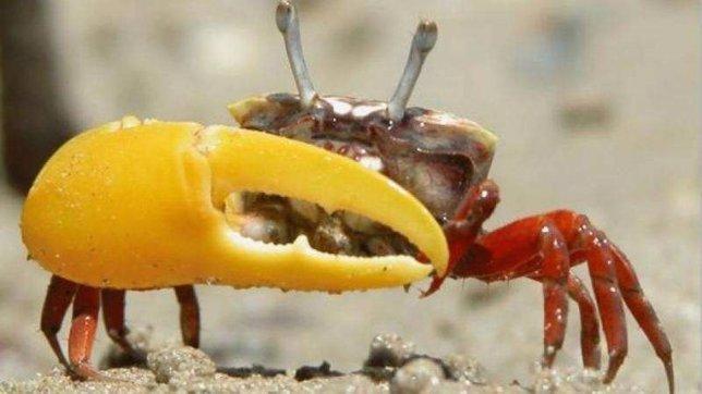 Resultado de imagen de cangrejo violinista