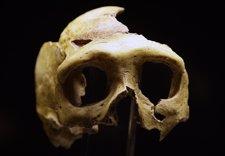 Cráneo De Un Neandertal