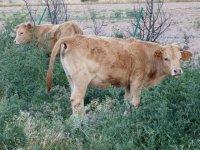 Terneros, terneras, carne de ternera, ganado vacuno, bovino