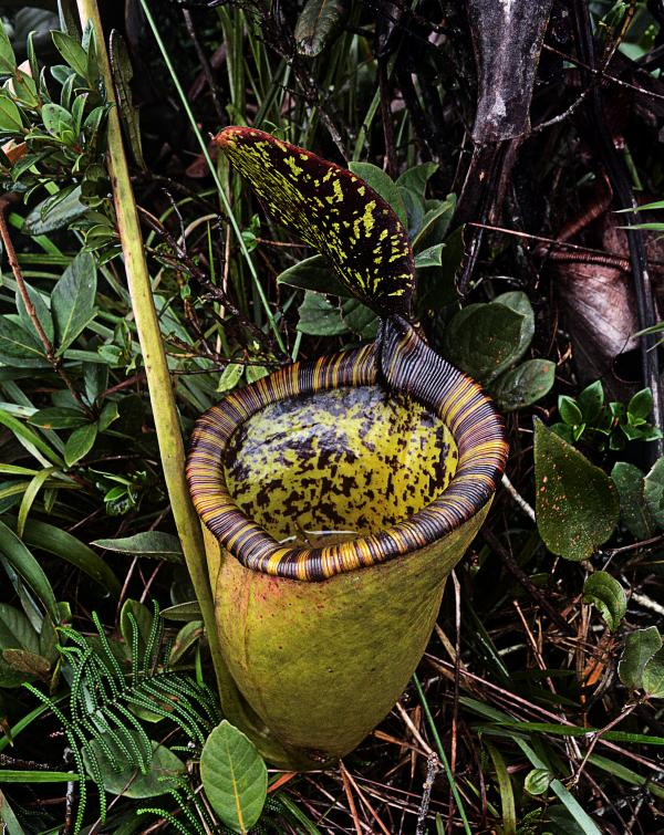8. La Nepenthes attenboroughii