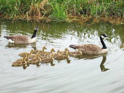 Progenitores a nadar com as suas crias, em formação em V. Autor: David Hawgood.