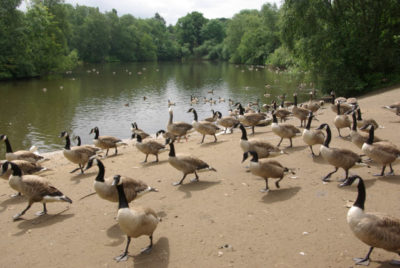 Gansos a passear pelo Heaton Park. Autor: Stephen McKay.