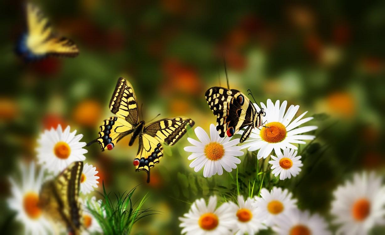 Фото бесплатно поле, цветы, ромашки, бабочки, природа ...