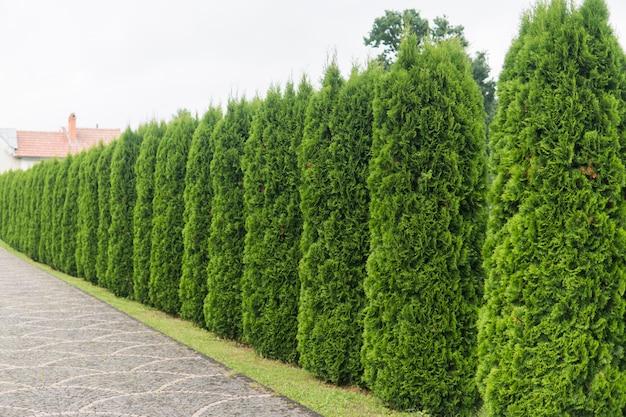 tanaman pagar dari