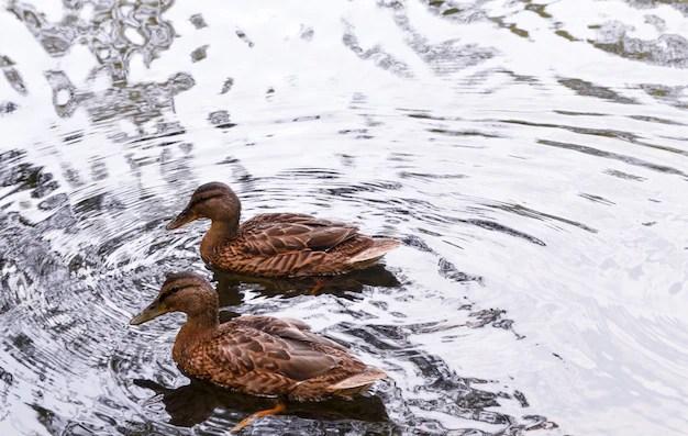 Уток на озере | Бесплатно Фото