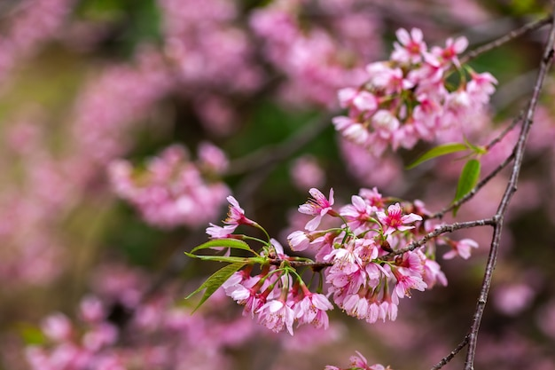Вишневый цвет - цветок сакуры - вишня японская, prunus ...