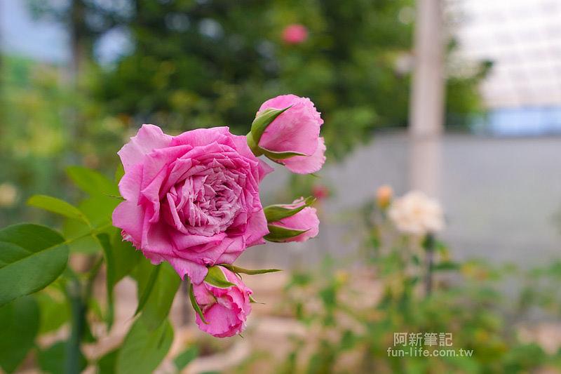 蘿莎玫瑰莊園-37
