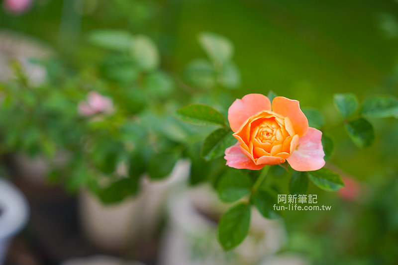 蘿莎玫瑰莊園-28