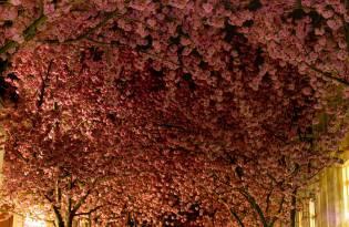 [攝影藝術]德國波恩的櫻花大道