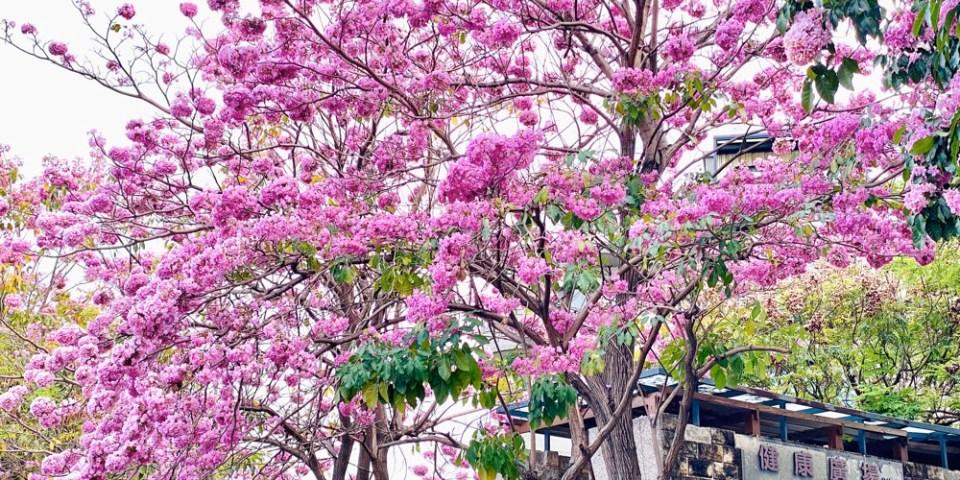 台南體育公園最浪漫!!!竹溪旁的粉紅風鈴木花海 @竹溪健康廣場|拍攝日:4/15|蘋果手機 iPhone 11 pro max拍攝