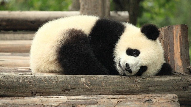 Panda blood could hold the secret to the next generation of antibiotics
