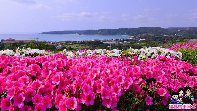 [沖繩賞花祕境] 沖繩東村一年一度杜鵑花季,期間限定,錯過再等365天!2018更新