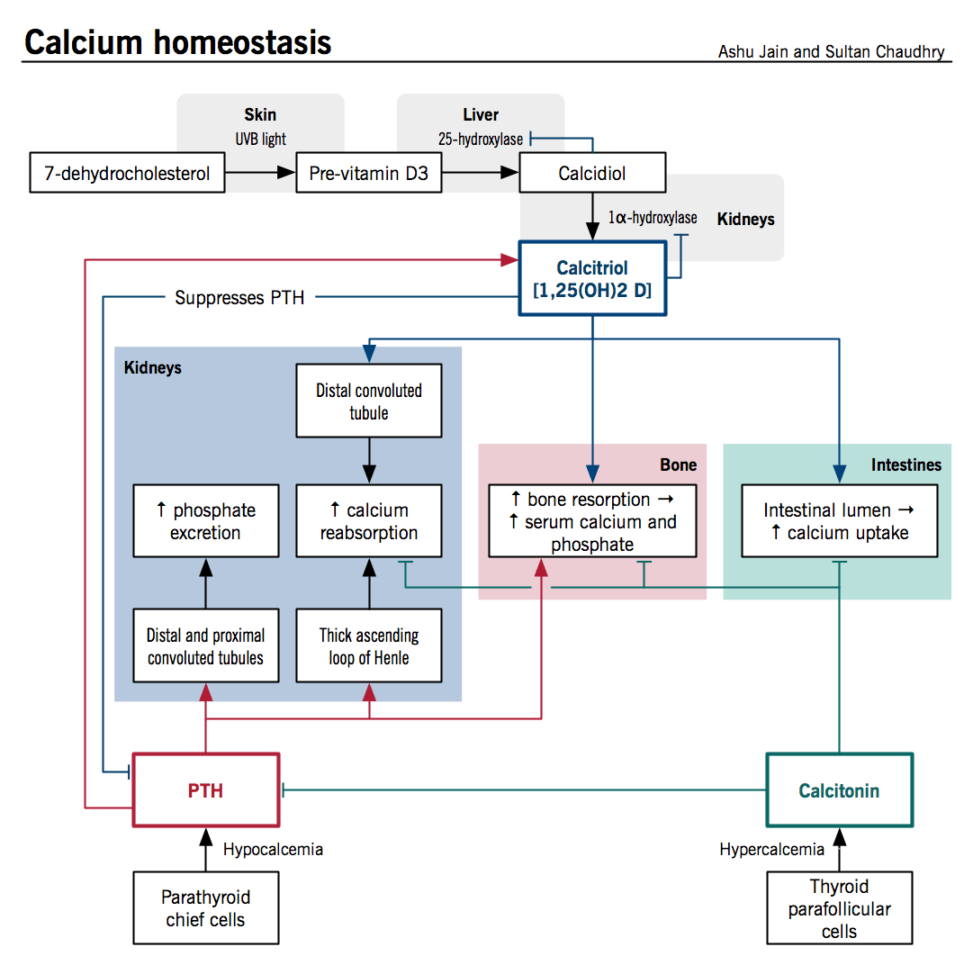 Calcium Homeostasis Is A Process Controlled By Chiefly By