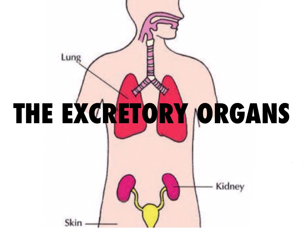 The Excretory System By Lucy Murphy