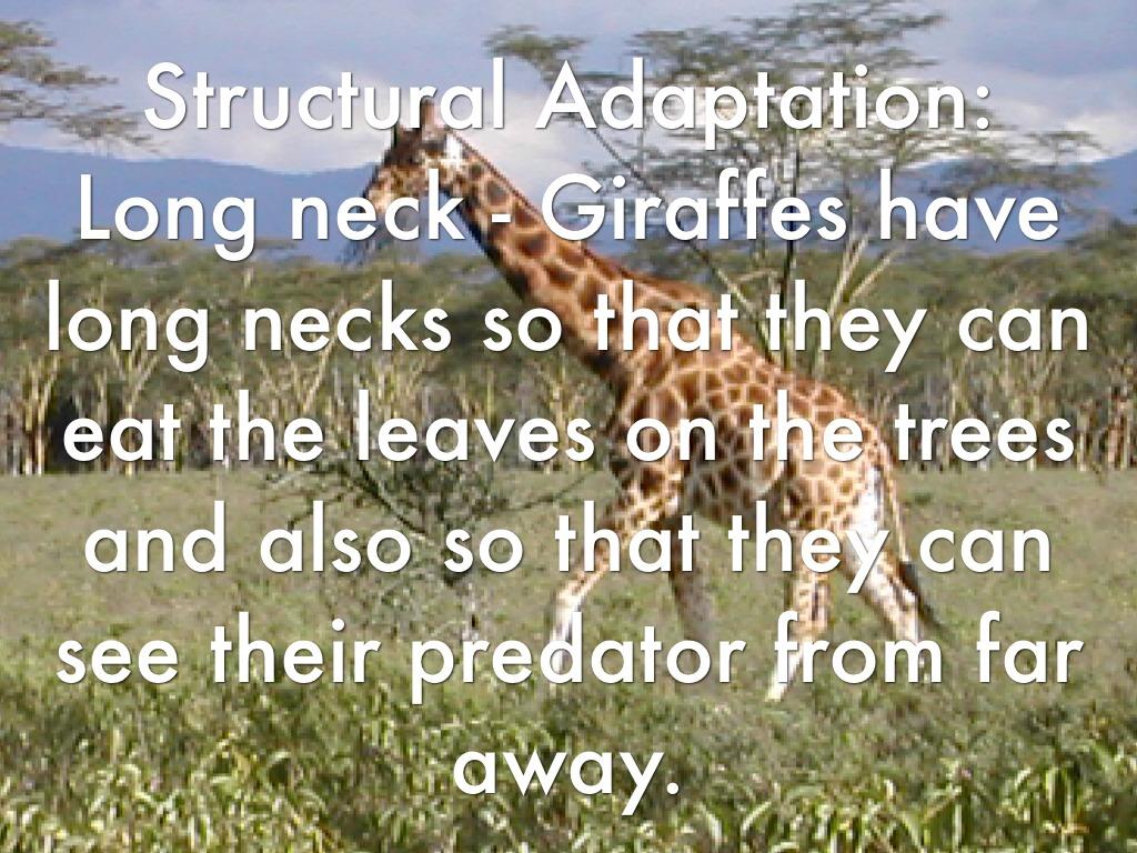 Giraffe Behavioural Adaptations