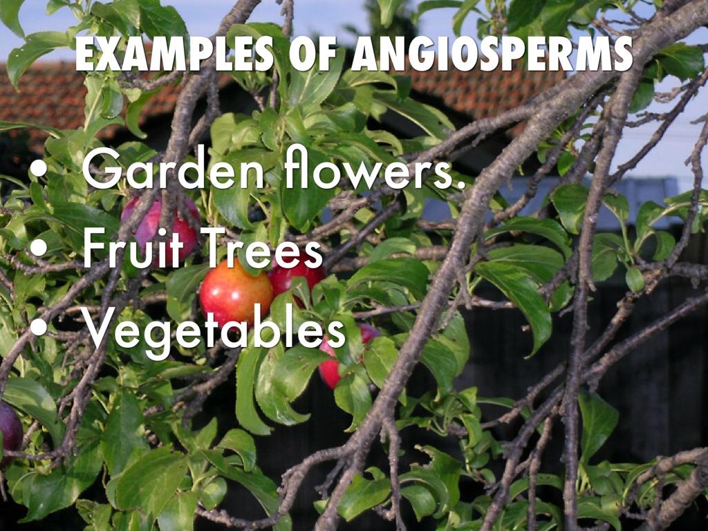 Angiosperms Gymnosperms By Tyler Ryan
