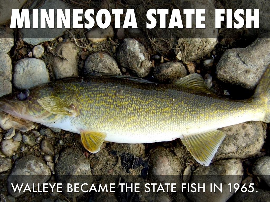 Minnesota State Symbols By Carter Buchert