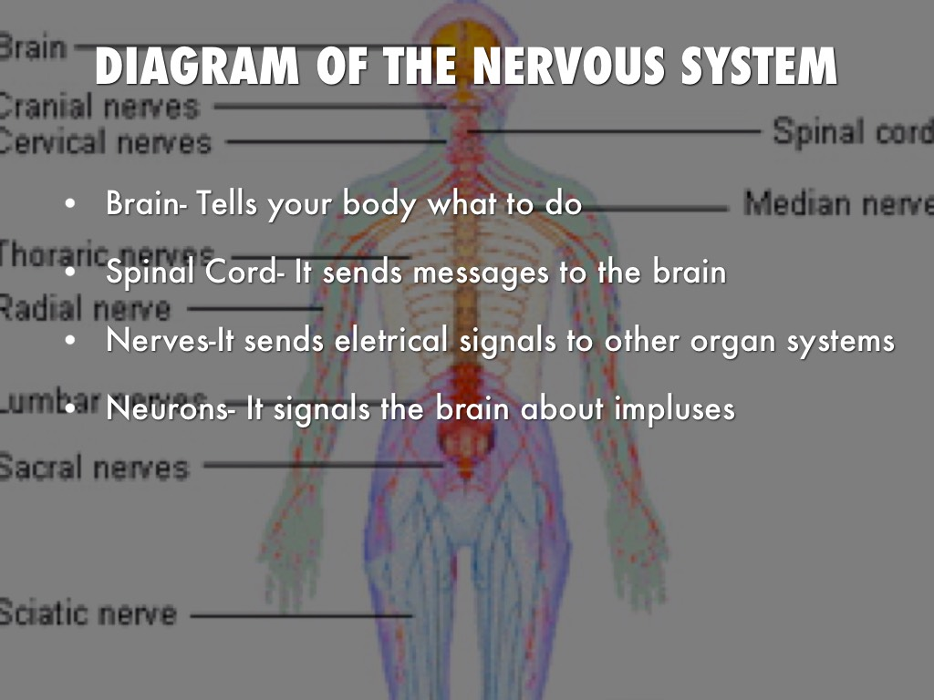 The Nervous System By Madworsley