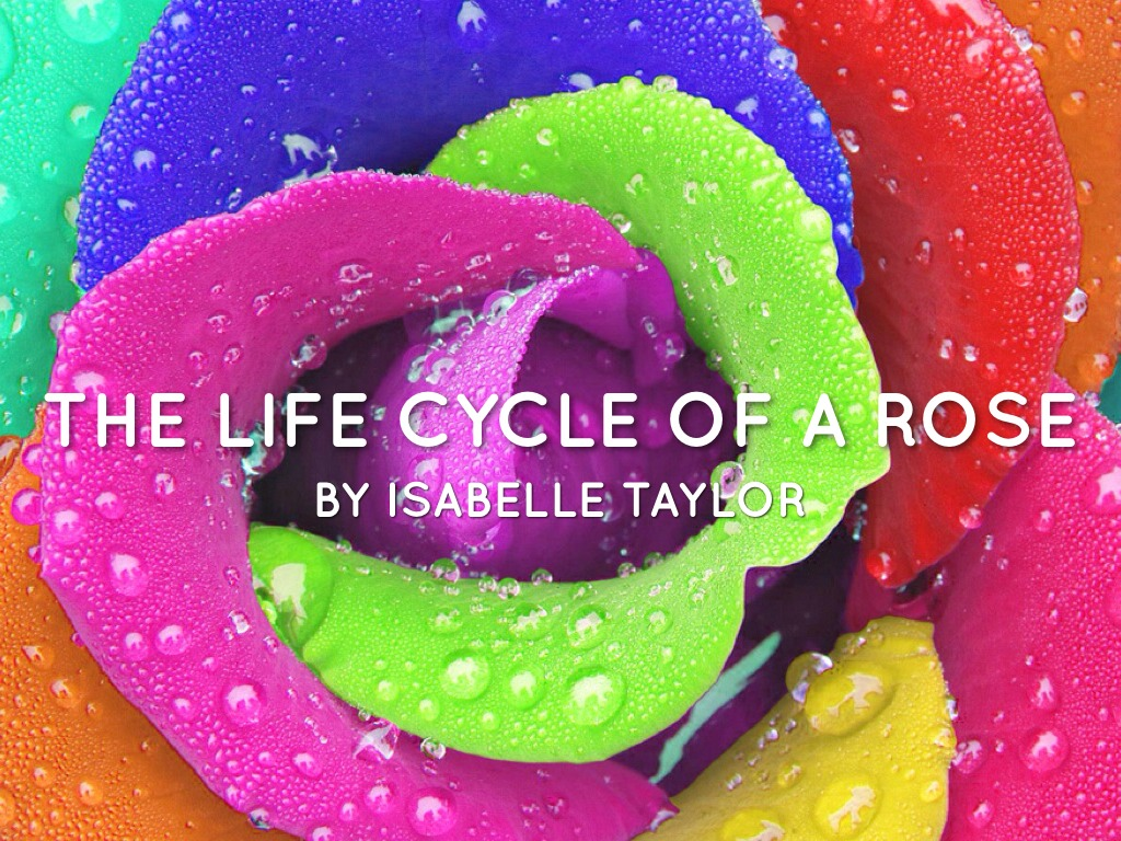The Life Cycle Of A Rose By Isabelle By Lauth Lauth