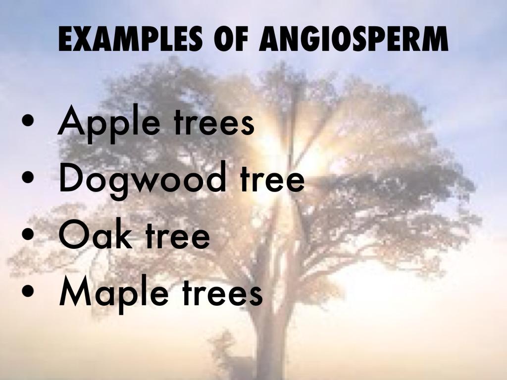 Angiosperm And Gymnosperm By Justin Isbell
