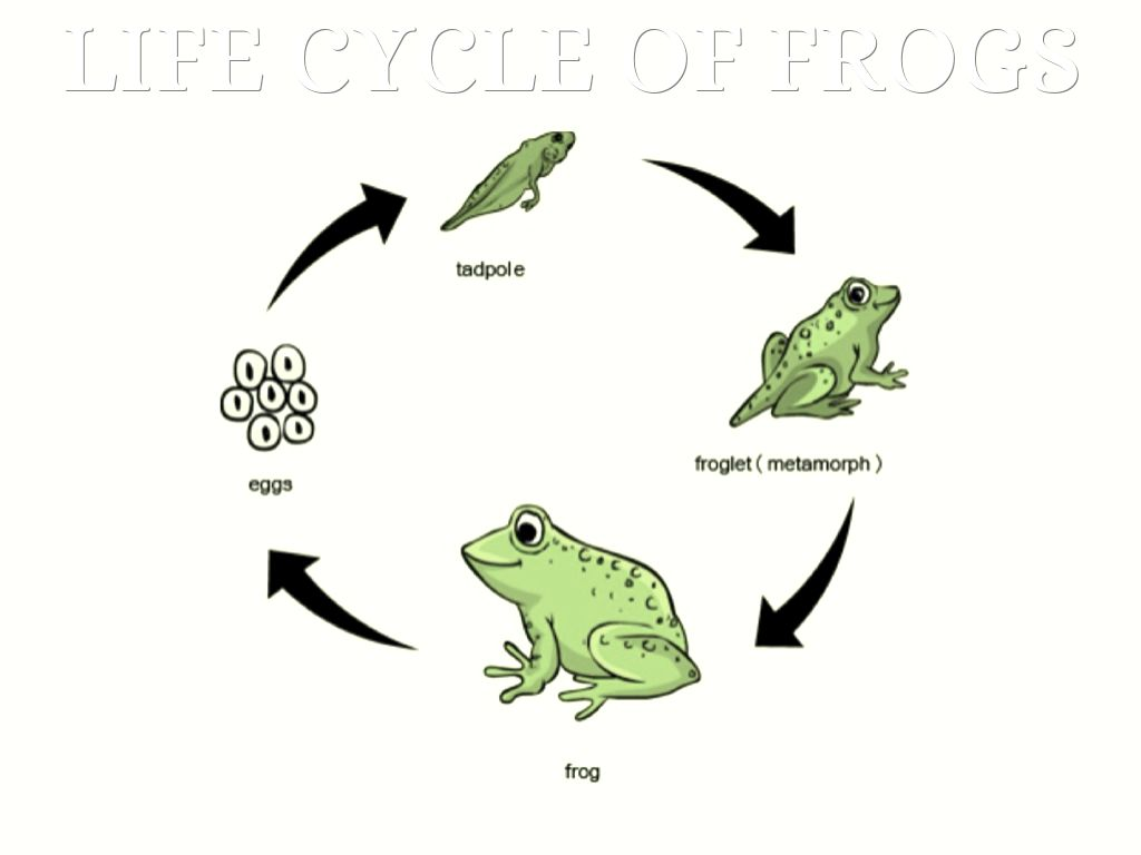 Toad Life Cycle Worksheet