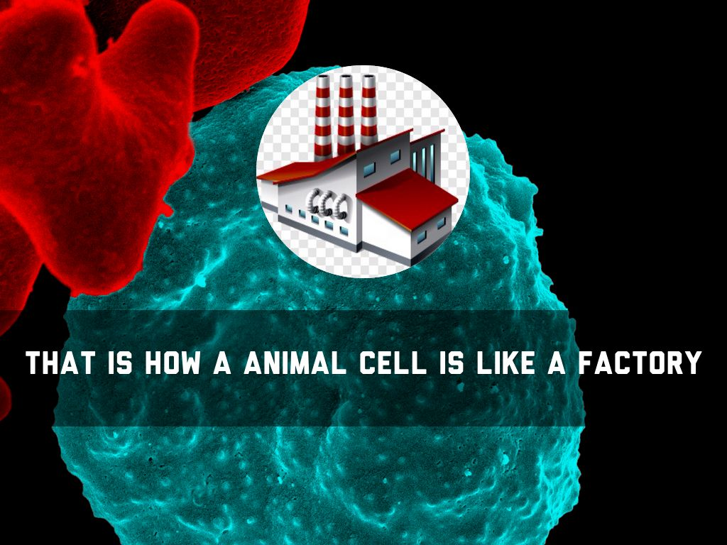 An Animal Cell Is Like A Factory By